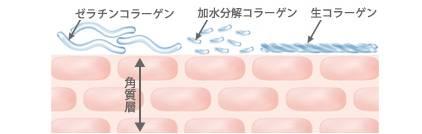 ゼラチンコラーゲン 加水分解コラーゲン 生コラーゲン